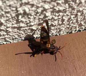即死した足長蜂