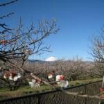 曽我梅林富士山
