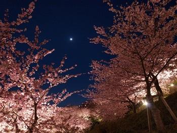 河津桜まつり夜桜